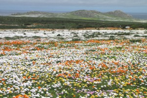 Namaqualand_flowers_1