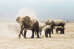 HELP AMARULA TO SAVE AFRICA'S ELEPHANTS