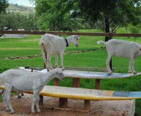 FAIRVIEW INTRODUCES SOUTH AFRICA'S FIRST SKYWALK AND PLAYPARK FOR ITS GOATS