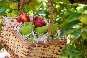 TRU-CAPE HERITAGE ORCHARD OPEN THIS SATURDAY FOR THE LAST TIME THIS YEAR