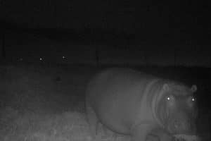 FALSE BAY HIPPO OFF TO GREENER PASTURES