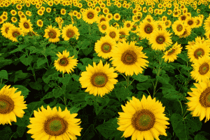 THE SUNFLOWER TOPE, A SYMBOL OF HOPE