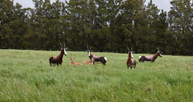 BONTEBOK BABIES THRIVE AT VERGELEGEN WINE ESTATE