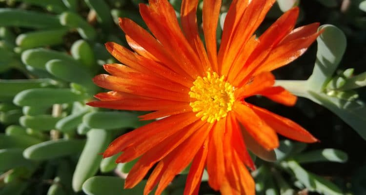 LIKE WILDFLOWERS, THE CLANWILLIAM WILDFLOWER SHOW CONTINUES TO FLOURISH
