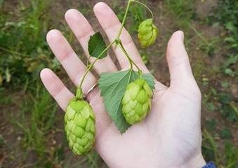 HOPS ARE TO BEER WHAT HERBS ARE TO FOOD