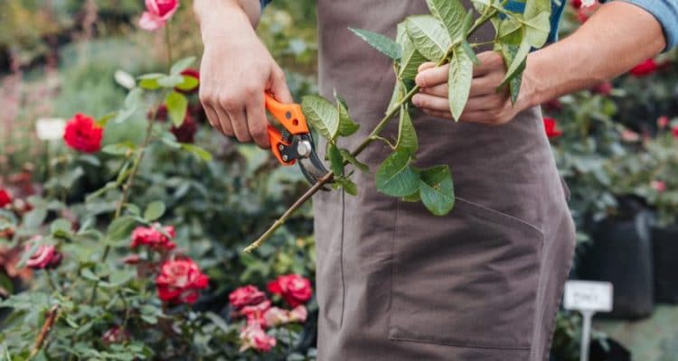 GRANNY MOUSES' GUIDE TO GROWING ROSES