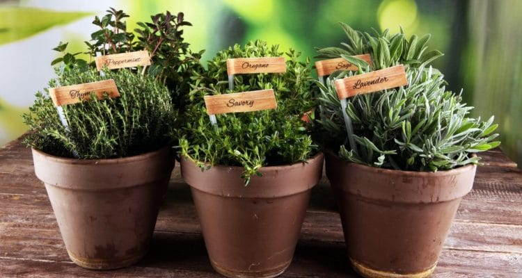 HERBS THAT CAN BE GROWN AT HOME!