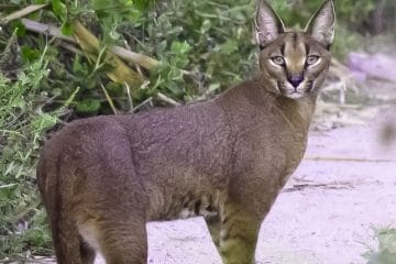 ORIGIN OF TRAILS WELCOMES THE URBAN CARACAL PROJECT AS A CHARITY IN 2019